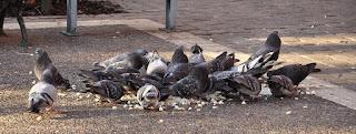 Pombos sendo alimentados na rua