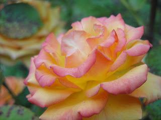 Rosas - pétalas