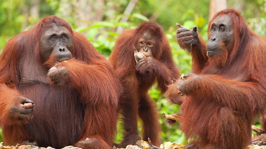 Epik Nesia_Orangutan