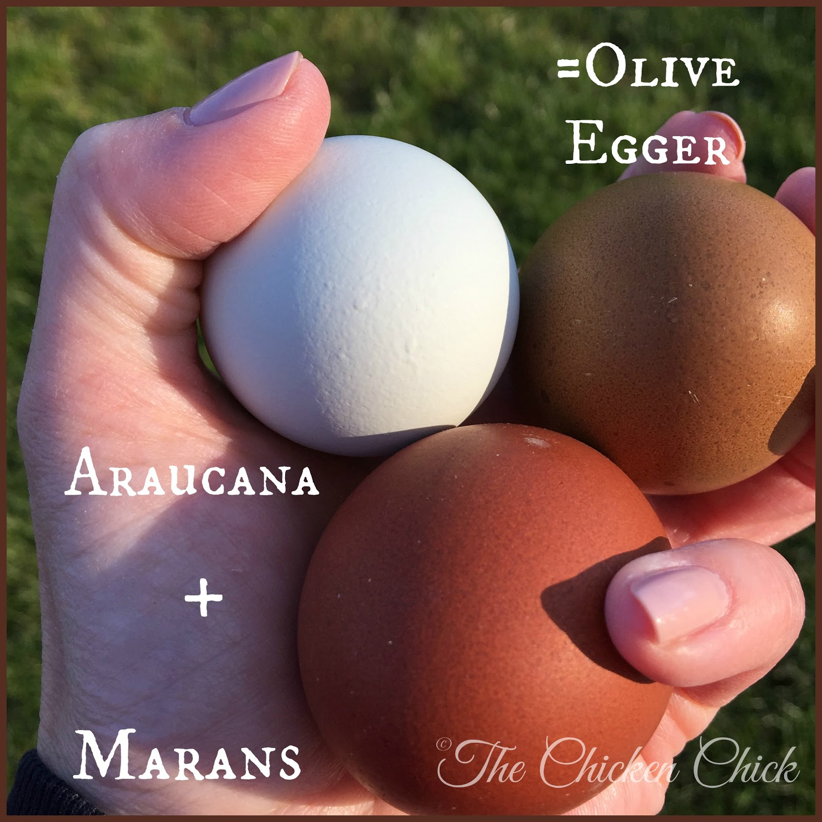 the chicken araucana ameraucana or easter egger olive