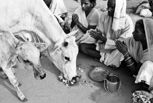 Gambar Lembu India di sembah manusia