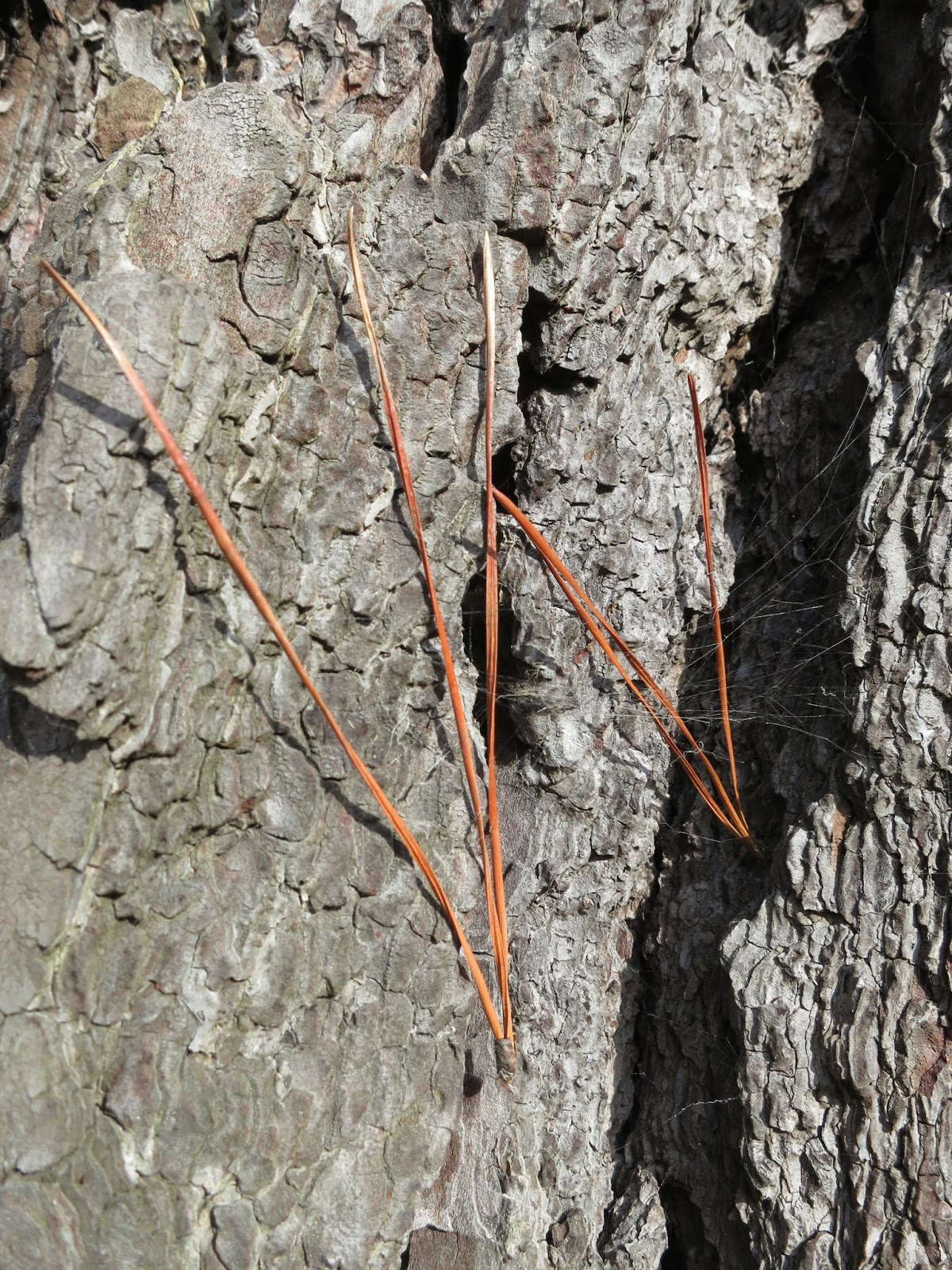 Brown pine-needles caught against bark of tree
