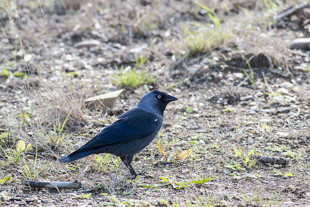 A Chill in the Air - Jackdaw
