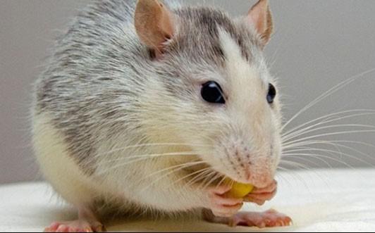 10 Cara Mengusir Tikus Secara Alami