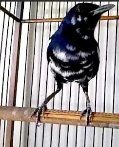 kacer blorok www.burung45.blogspot.com
