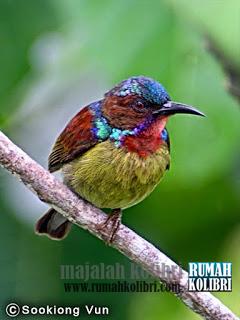 kolibri manggar