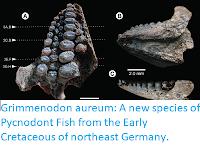 https://sciencythoughts.blogspot.com/2017/09/grimmenodon-aureum-new-species-of.html