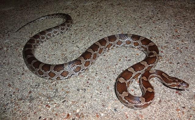 Jenis Jenis Colubrid Snake Genus Colubridae Jenis