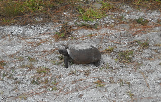 Schildkröten in Honeymoon Island State Park, Florida USA