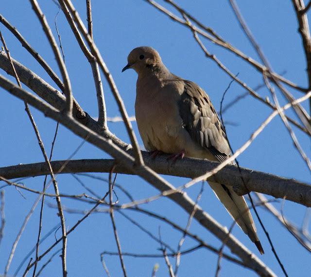 Mounring Dove backlit
