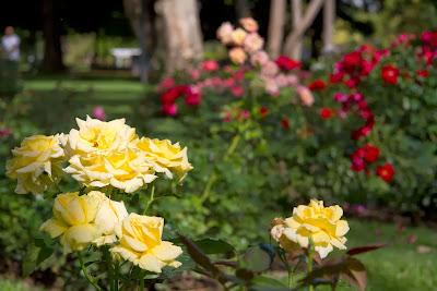 Rosas en el Rosedal de Palermo-