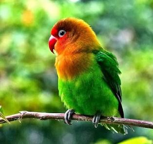 3 ciri ciri Fisik Burung Love Bird Berlemak Dan Cara Mengatasinya Paling Akurat