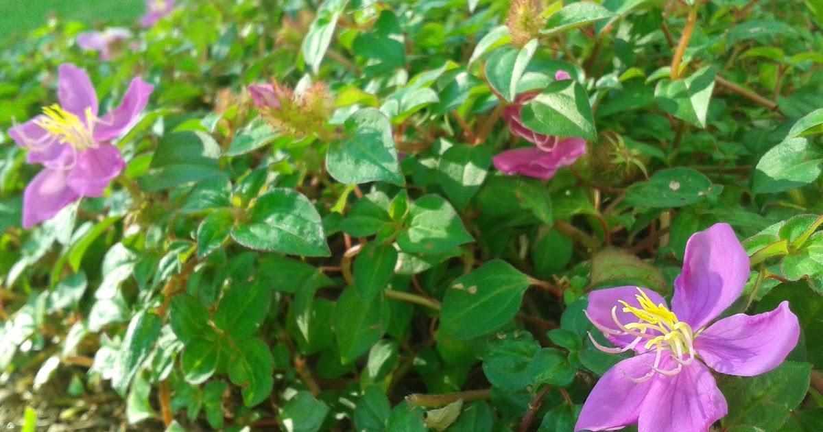 jardins plantas rasteiras:Cadutati Jardins: Quaresmeira Rasteira – ( Schizocentron elegans )