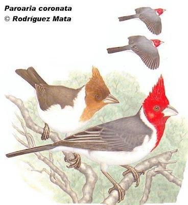 aves passeriformes de Argentina Cardenal Paroaria coronata