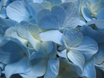 plumeria-azul