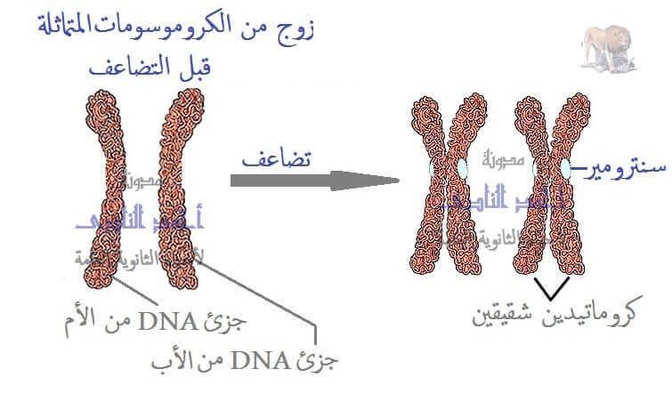 الطفرات - التضاعف الصبغى فى النبات - عدم إنقسام السنترومير - الثالث الثانوى