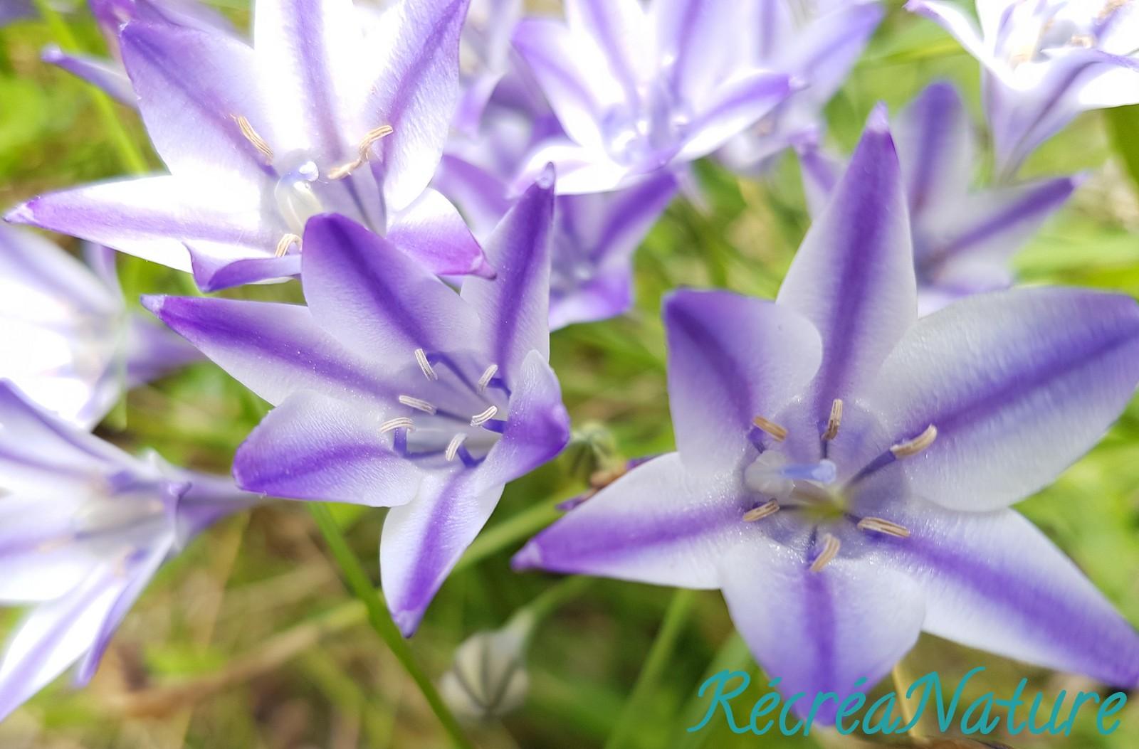 Fleurs de mon jardin en juin et juillet for Fleurs thes au jardin