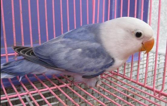 78 Foto Gambar Burung Lovebird Violet Kepala Elang  Terbaru Free