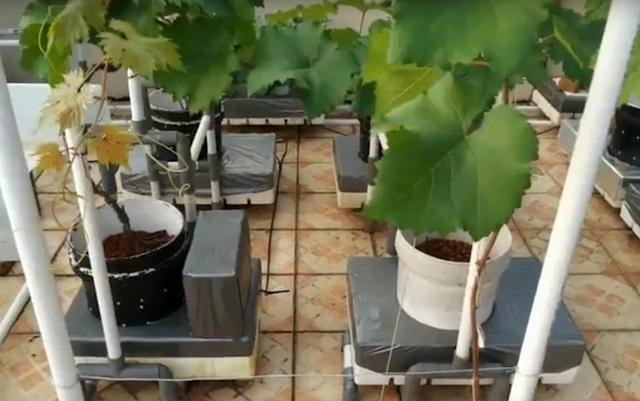 Anggur Hidroponik