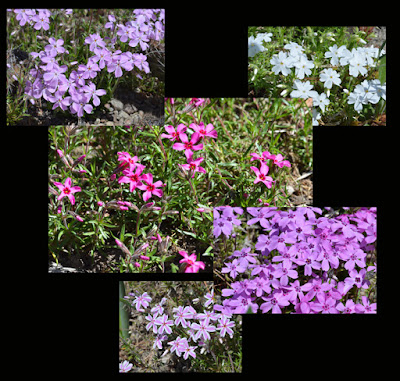 phlox colours