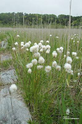 ワタスゲ(綿毛状) ≪Tussock Cottongrass≫