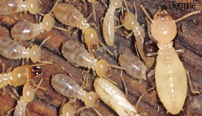 termite, termite insects