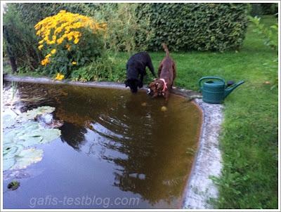 Boxer Amy und ihr Labradorfreund Deco