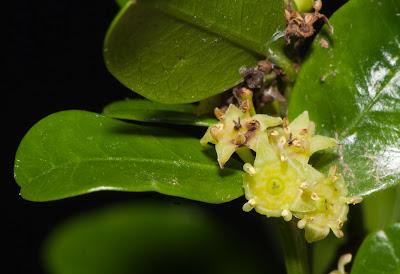 Coronillo Scutia buxifolia