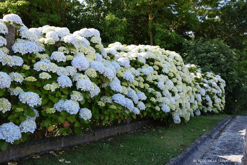 Muro, seto vivo de hortensias (Hydrangea macrophylla)