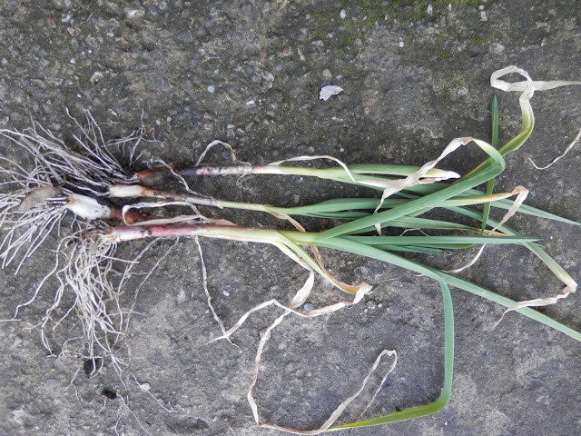 My homegrown harvest, February 2016.  Young garlic and onion, Little Elf chili and swiss chard and spinach beet.  secondhandsusie.blogspot.com #ukgardener #gardenblogger