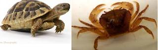 Dongeng sunda kura-kura dan kepiting