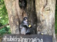Langur-apina