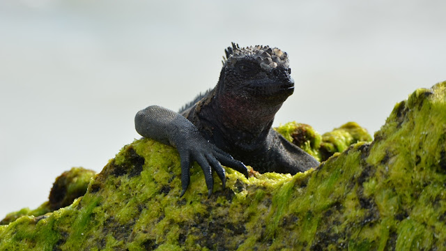 Gardner Bay Galapagos iguana seaweed