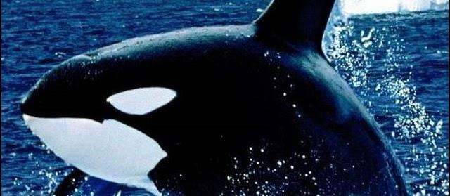Gambar Ikan Paus Terbesar Hitam Putih dari Jenis Orca&Lumba-Lumba