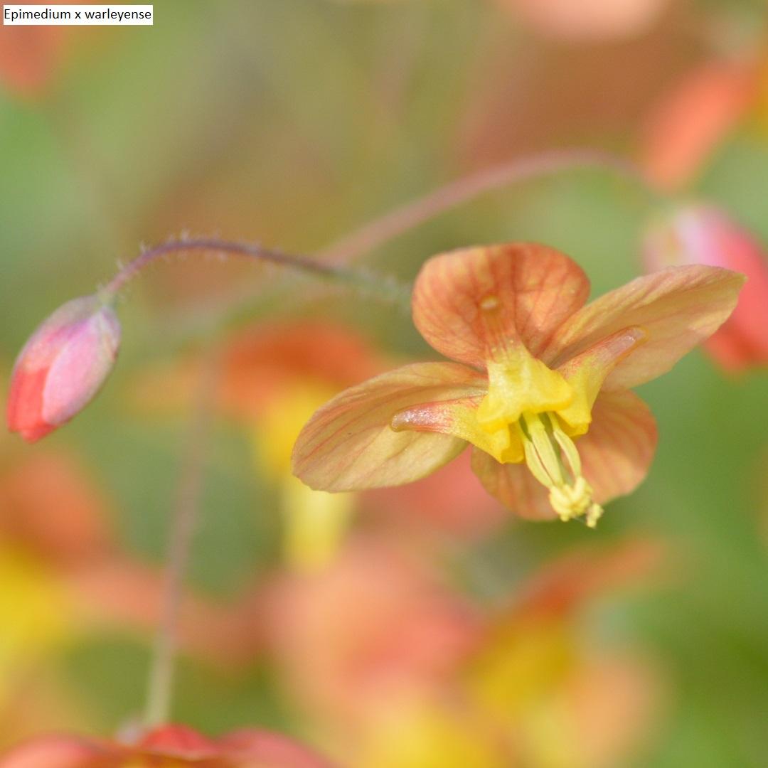 Growing And Pruning Forsythia Gardenandhealth
