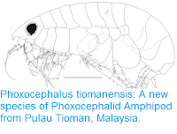 http://sciencythoughts.blogspot.co.uk/2015/12/phoxocephalus-tiomanensis-new-species.html