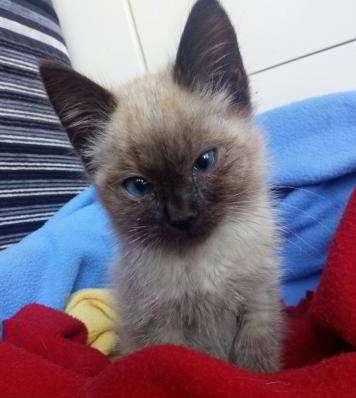 gatito de siames