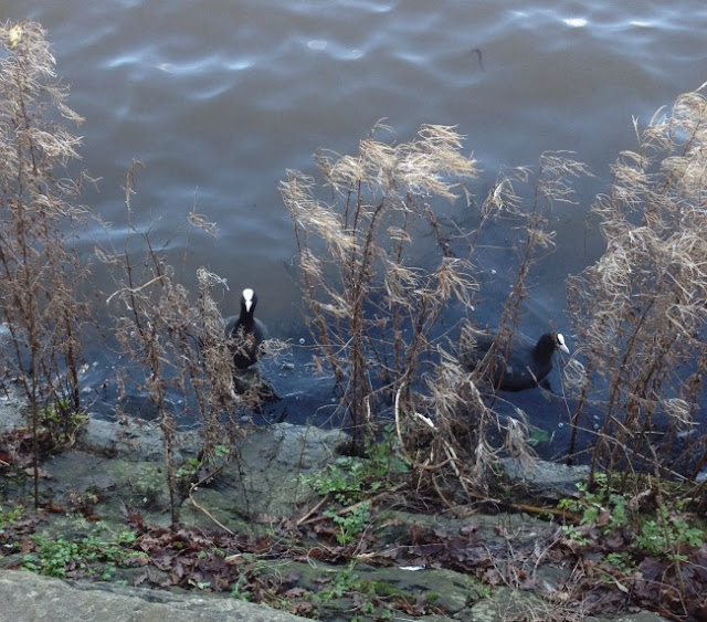 picture of two coots