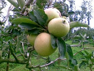 wisata petik apel, www.wisatapetikapelmalang.blogspot.com, 085755059965