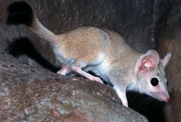 O rato-marsupial-australiano vive cerca de um ano e reproduz-se em apenas um período da vida. Mas ele não deixa por menos e leva ao pé da letra a expressão 'dar tudo de si'. Para aproveita ao máximo, ele se transformando em uma verdadeira máquina de sexo.