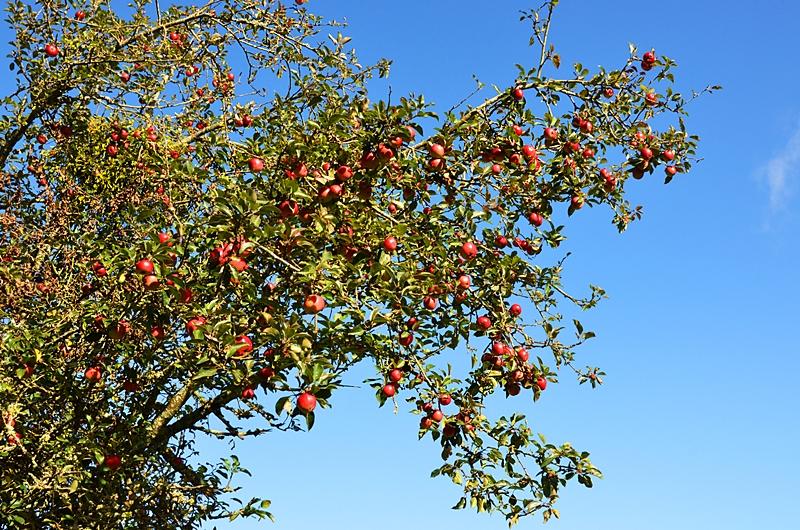 Campagne arbre pommier automne Puisaye
