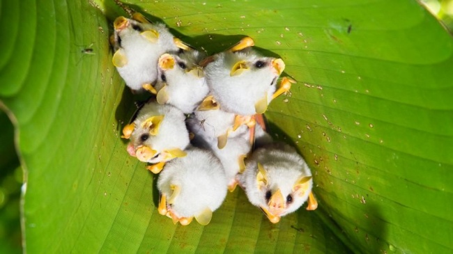 Λευκές νυχτερίδες