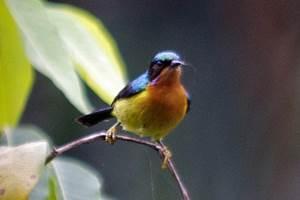 570+ Gambar Burung Kolibri Merak Gratis