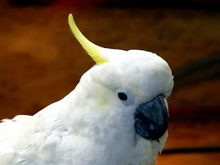 mengenal burung kakatua jambul kuning dan putih