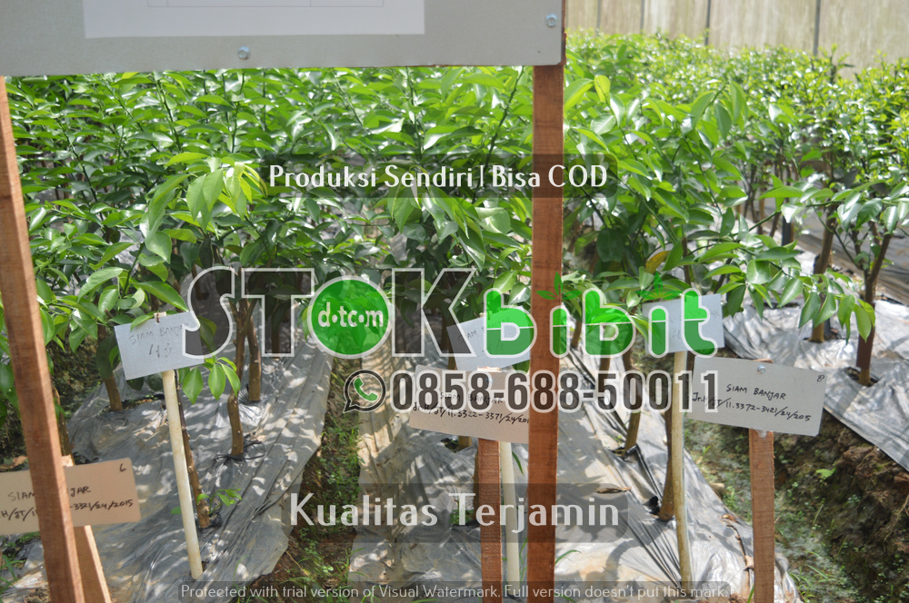 Pengiriman Bibit Jeruk Ke Sumatra      Unggul     berkualitas
