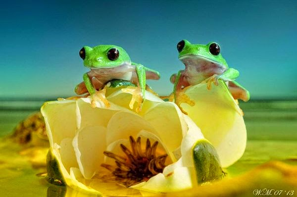 two frogs photography