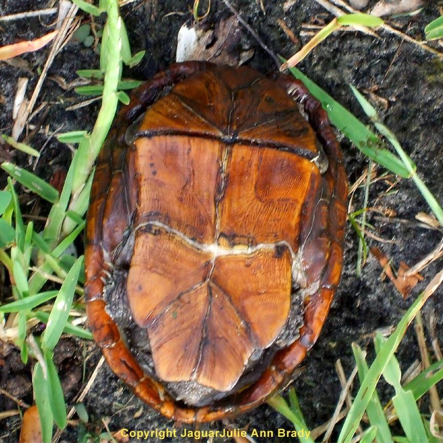 Underside of Turtle in my Back Yard