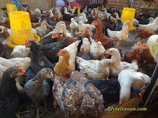 ayam kampung sehat dan gemuk