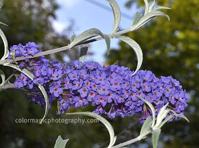 Butterfly bush flower-Buddleja davidii closeup