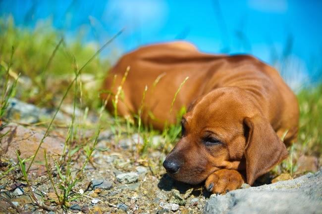 Dyskopatia u psów